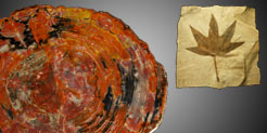Petrified wood and fossil leaves